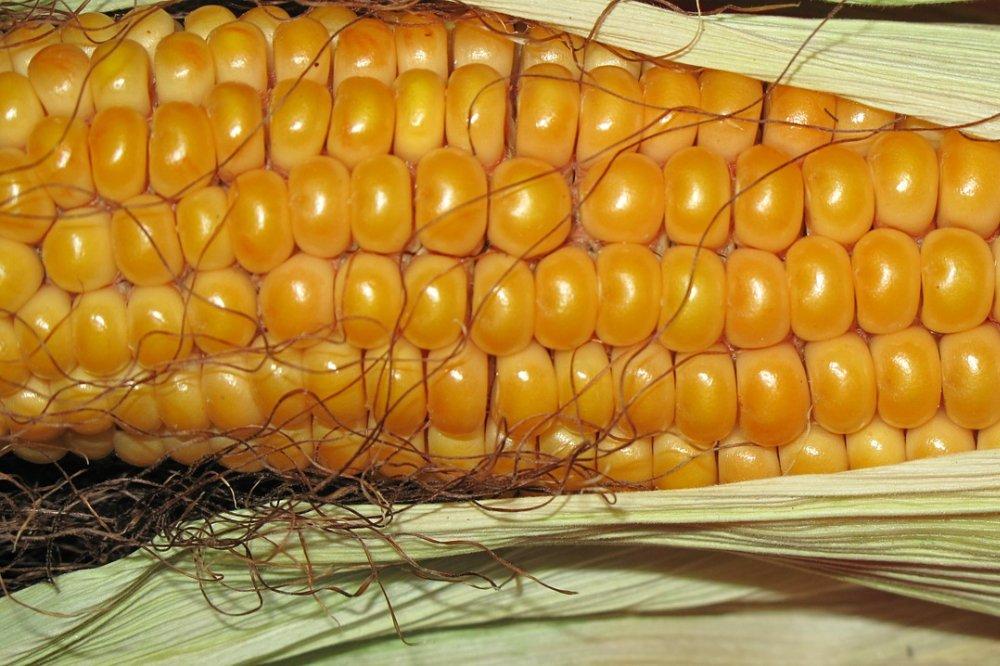Maïs telen, verzorgen en oogsten in de tuin