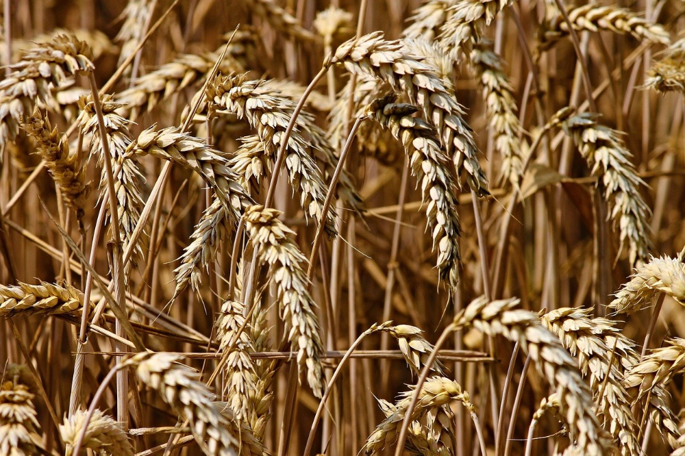 Tarwe een veelzijdige graansoort