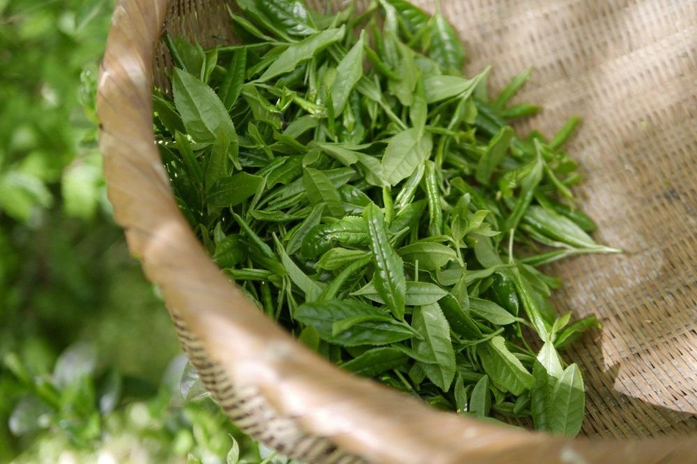 Zwarte, witte en groene thee wat is het verschi